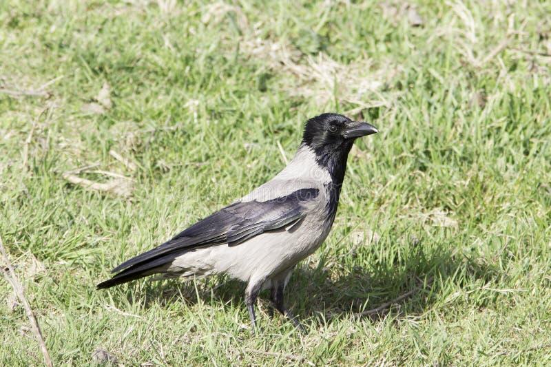 Kapturzasta wrona (Corvus corone cornix) zdjęcie stock