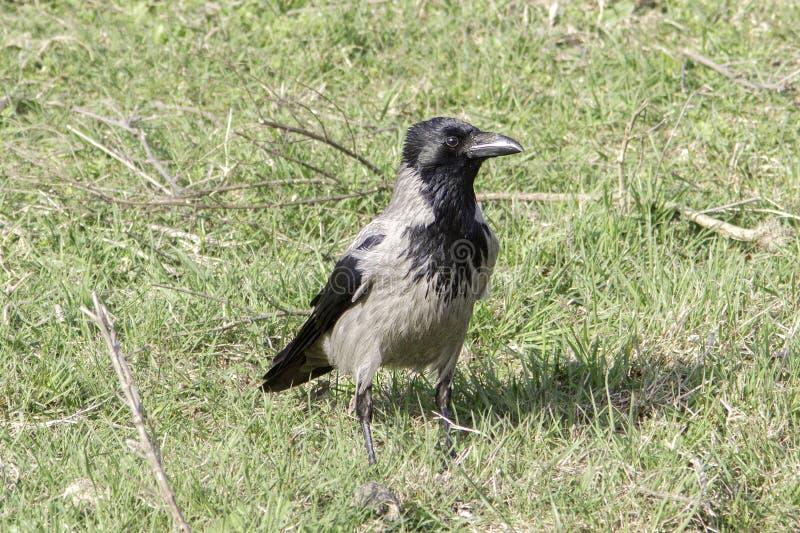 Kapturzasta wrona (Corvus corone cornix) zdjęcie royalty free