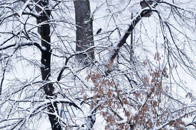 Kapturzasta wrona na gałąź zakrywającej z śniegiem fotografia royalty free