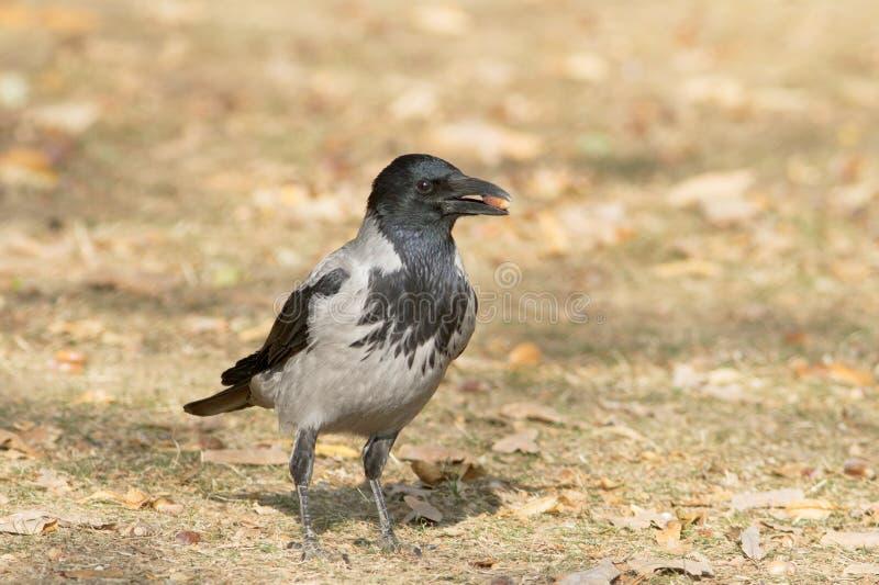 Kapturzasta wrona na ziemi/Corvus cornix obraz stock