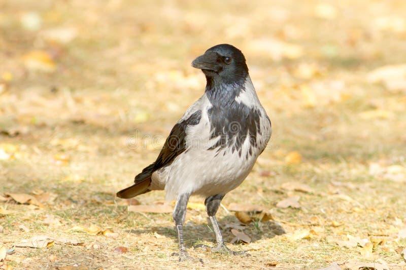 Kapturzasta wrona na ziemi/Corvus cornix obraz royalty free