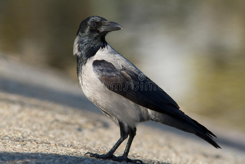 Kapturzasta wrona na ziemi/Corvus cornix zdjęcia stock