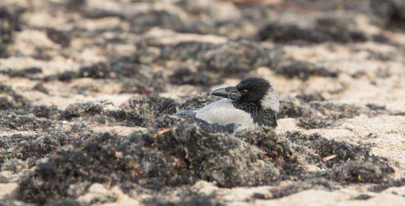 Kapturzasta wrona przy plażą zdjęcie stock