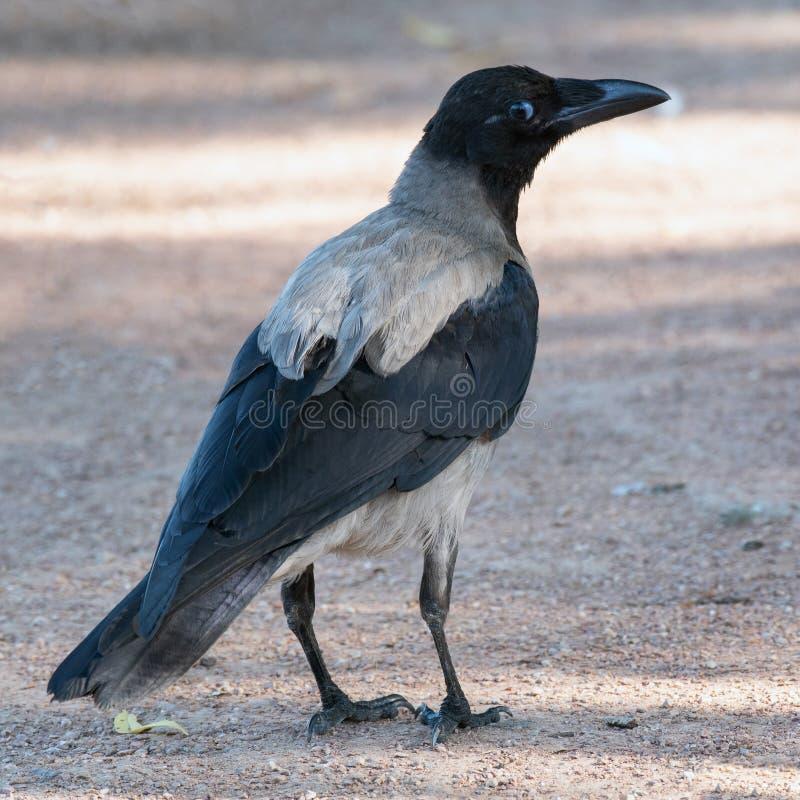 Kapturzasta Wronia trwanie cisza na ziemi Corvus cornix obrazy stock