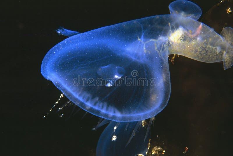 kapturzasty nudibranch fotografia stock