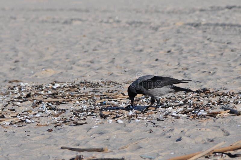 Kapturzasty wroni Corvus cornix hoodie na plażowym karmieniu fotografia royalty free