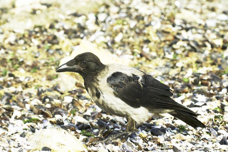 Kapturzasty Wroni portreta zakończenie (Corvus cornix) zdjęcie stock