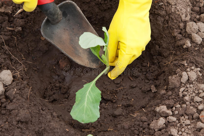 kapuściana ogrodniczka wręcza flancowanie zdjęcie royalty free
