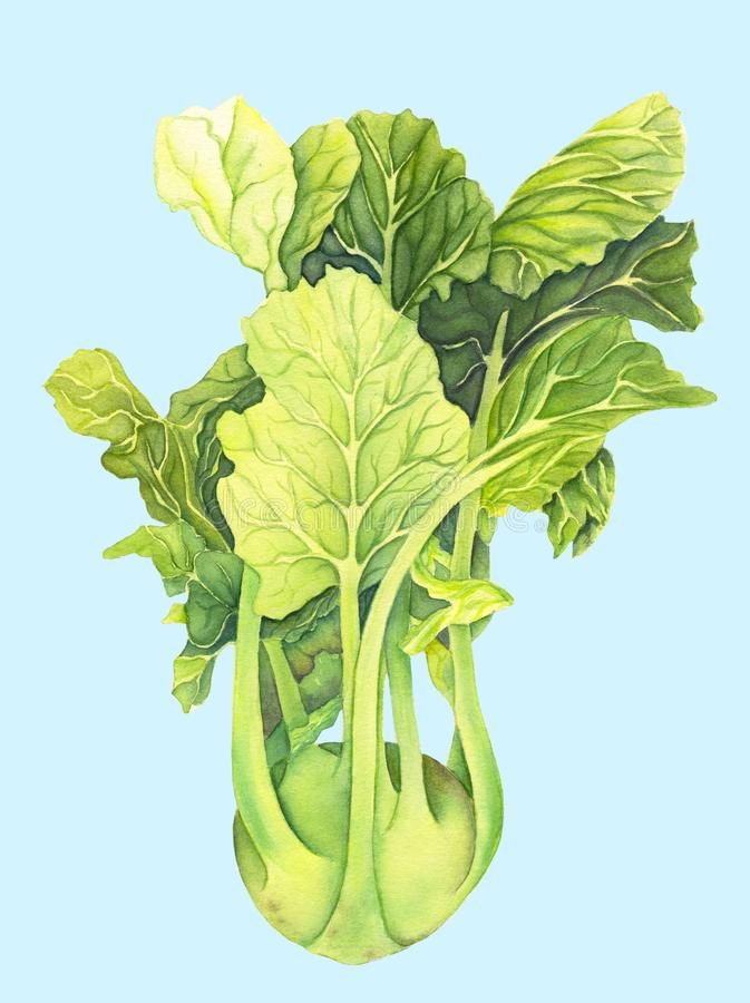 Kapuściane kalarepy z zielonymi liśćmi odizolowywającymi na bławym tle Brassica Oleracea Organicznie zdrowy jedzenie karmowy ?wie royalty ilustracja
