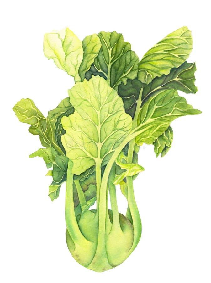 Kapuściane kalarepy z zielonymi liśćmi odizolowywającymi na białym tle Brassica Oleracea Organicznie zdrowy jedzenie karmowy ?wie ilustracja wektor