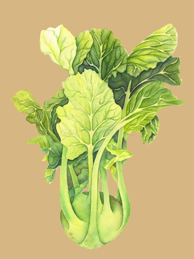 Kapuściane kalarepy z zielonymi liśćmi odizolowywającymi na lekkim bleige tle Brassica Oleracea Organicznie zdrowy jedzenie karmo ilustracji