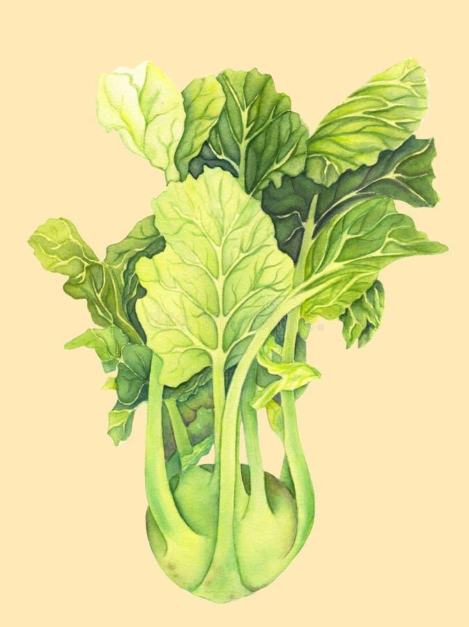 Kapuściane kalarepy z zielonymi liśćmi odizolowywającymi na lekkim tle Brassica Oleracea Organicznie zdrowy jedzenie karmowy ?wie ilustracja wektor