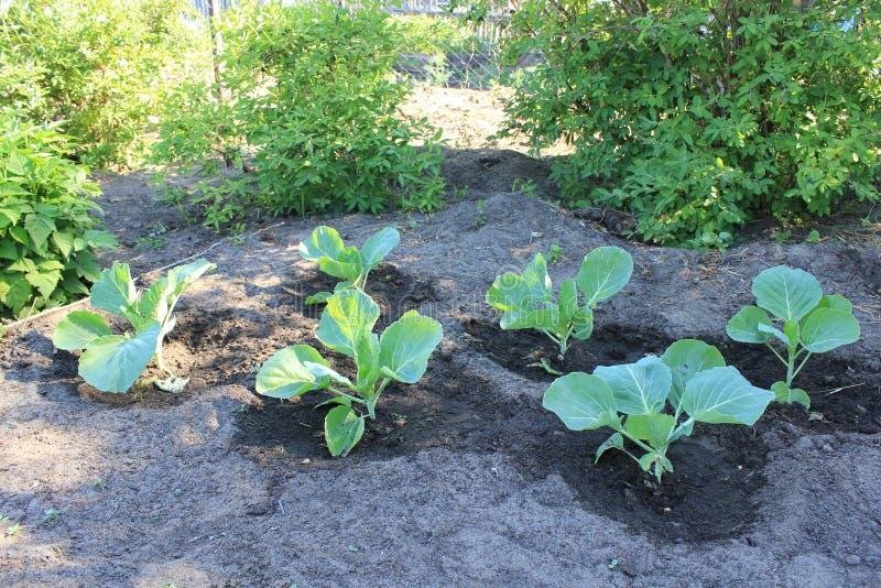 Kapuściane rozsady w lato ogródzie zdjęcie royalty free