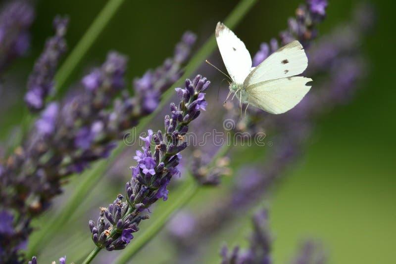 Kapuścianego bielu motyl w lawendzie zdjęcia royalty free
