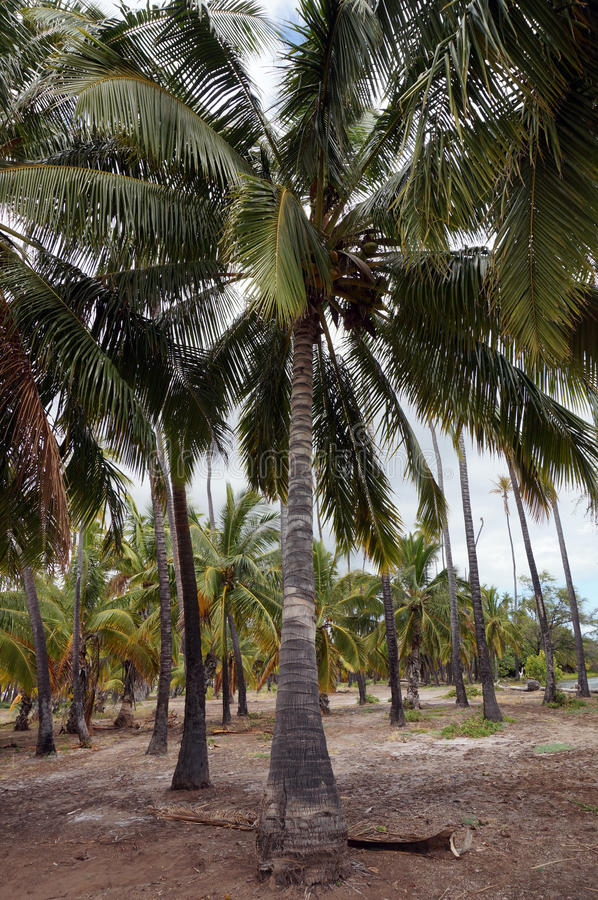Kapuaiwa椰子凹线 库存图片