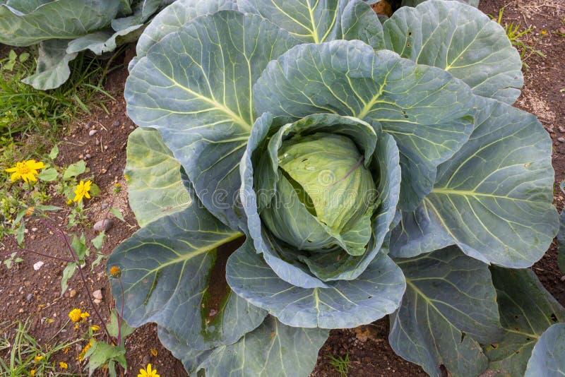Kapusta i x28;Brassica oleracea i x29; w ogrodzie warzywnym fotografia royalty free
