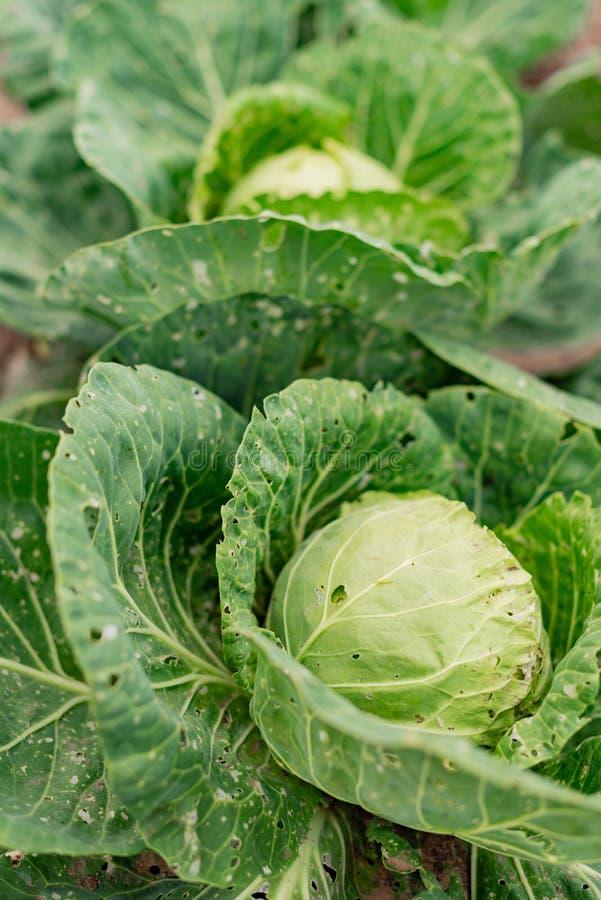 Kapusta liście uszkadzający ogrodowymi gąsienic zarazami zdjęcie stock