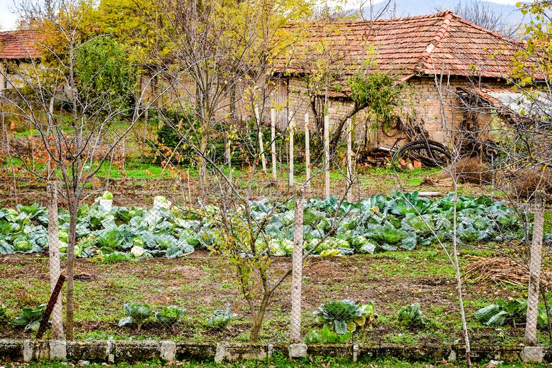 Kapusta ogród obrazy royalty free