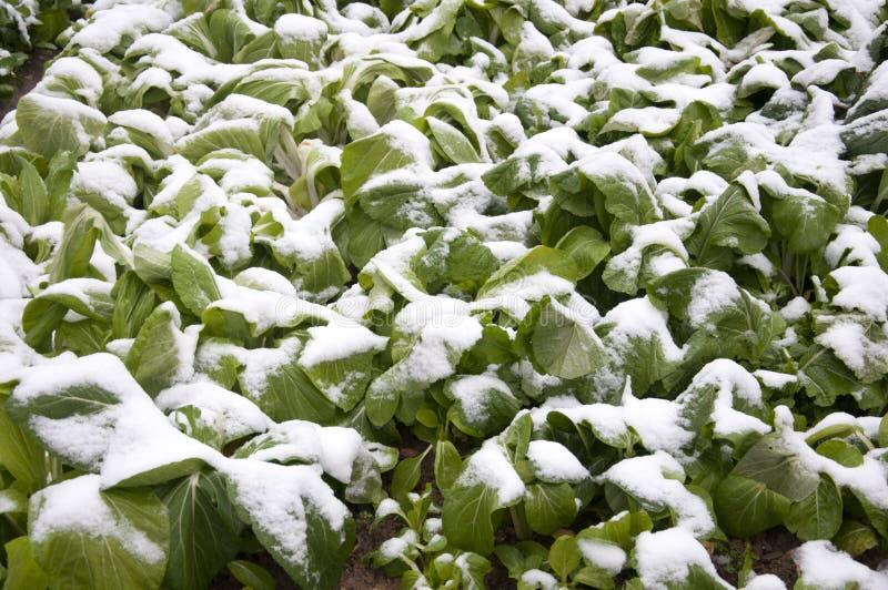 kapusta zakrywający śnieg obraz royalty free