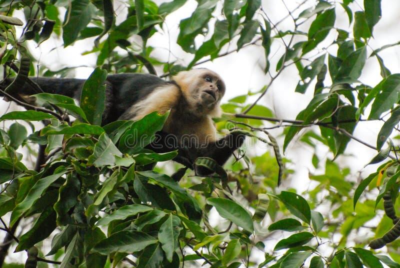 Kapuzineraffe in einem Baum stockfotografie