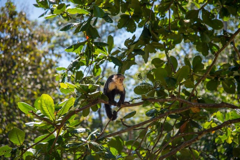 Kapuzineraffe in einem Baum Dschungelszene in Costa Rica stockfotos