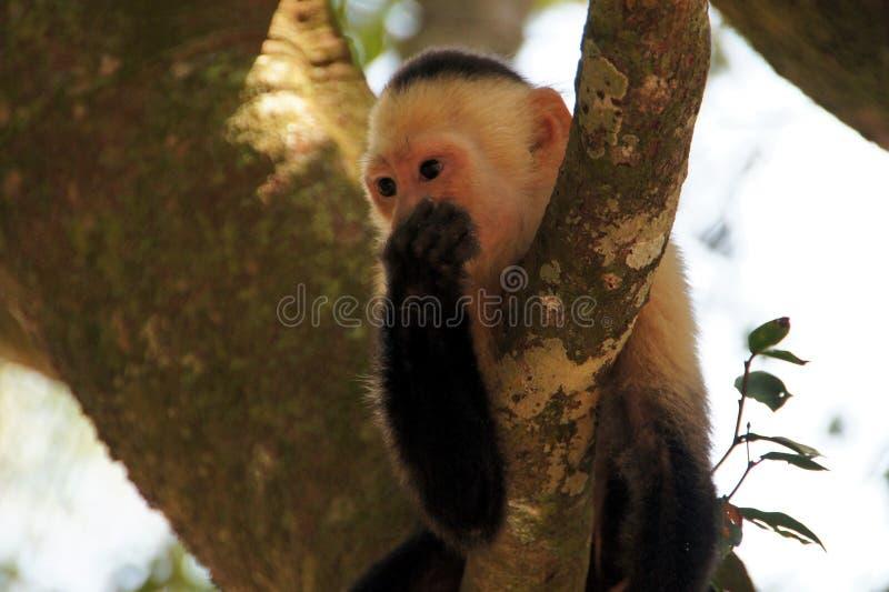 Kapuzineraffe im Baum - Costa Rica stockbilder