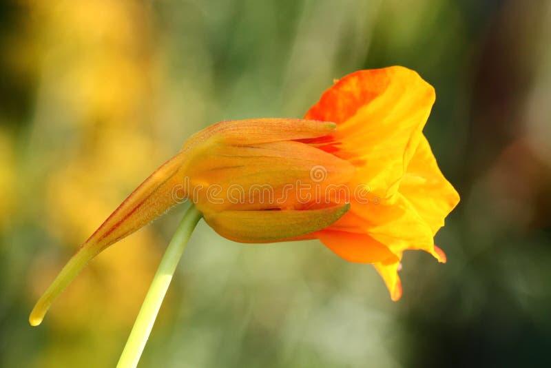 Kapuzinerkäseblume stockbild