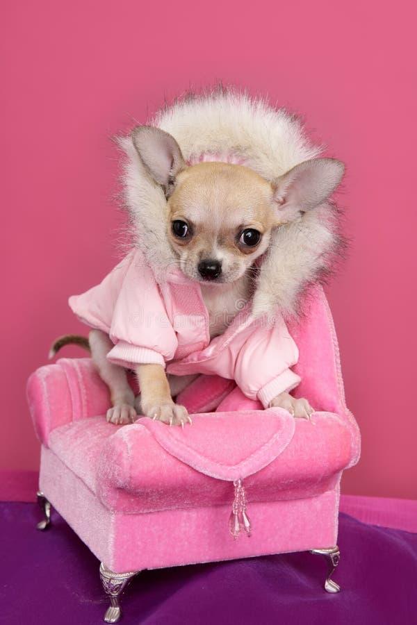 karła barbie chihuahua psa mody menchii styl zdjęcie royalty free