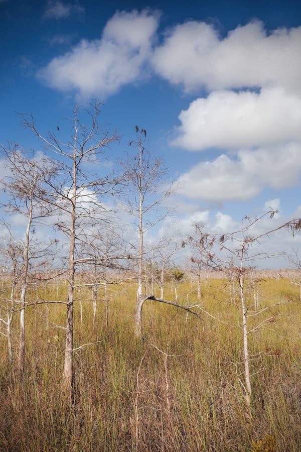 karłowaci cyprysów drzewa zdjęcie royalty free