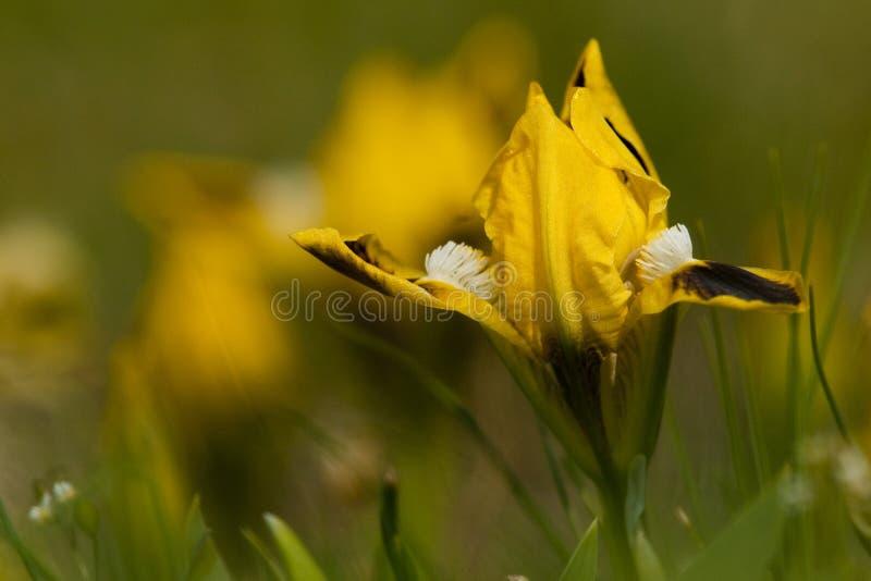 Karłowatego irysa kolor żółty zdjęcie royalty free