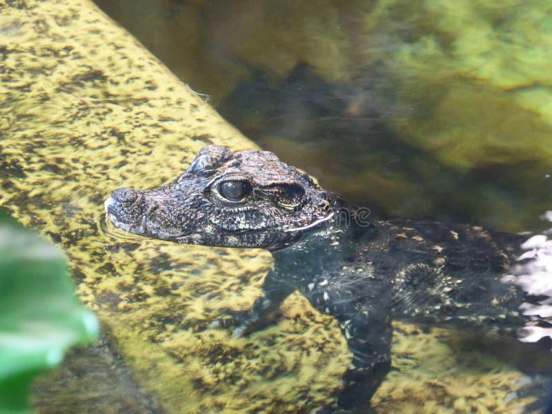 Karłowaty krokodyla dziecko przyglądający za świacie przy zdjęcia stock