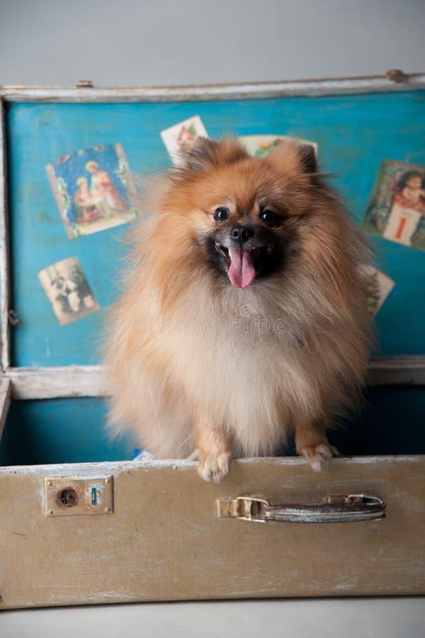 Karłowaty spitz w studiu fotografia royalty free
