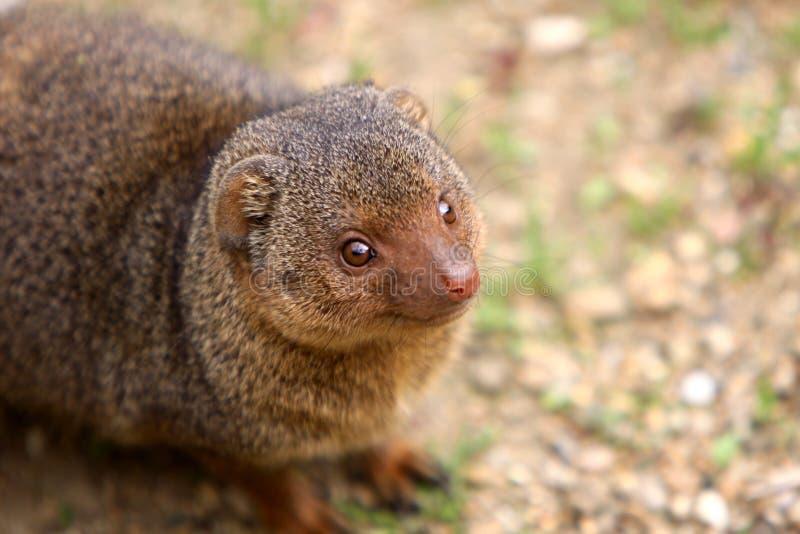 Download Karłowata mangusta zdjęcie stock. Obraz złożonej z mangusta - 22326356
