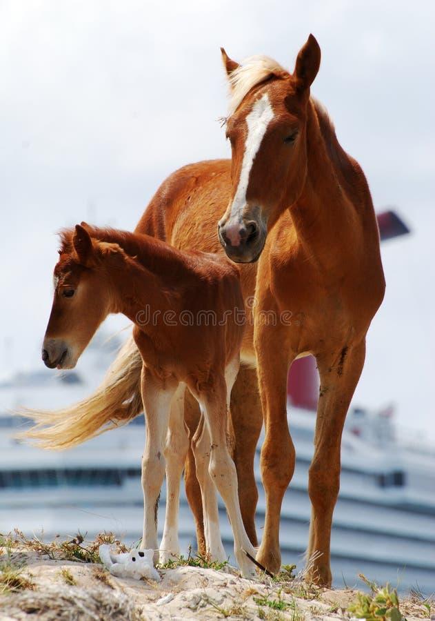 karaibscy konie zdjęcie stock