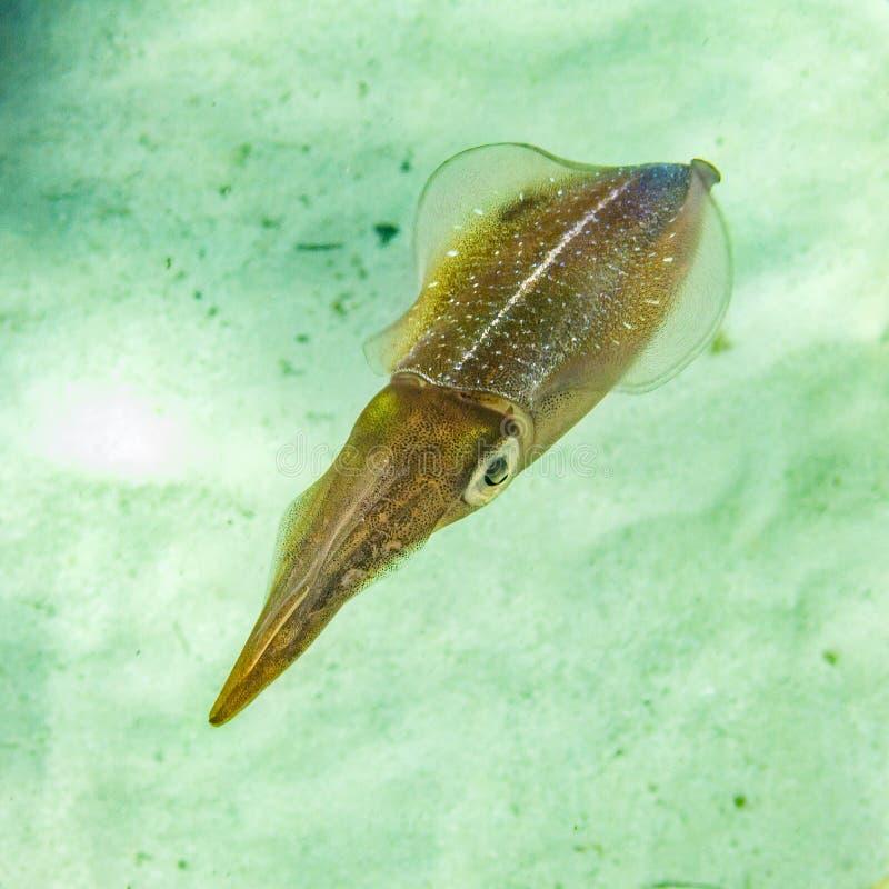 karaibska kałamarnica rafowa zdjęcie stock