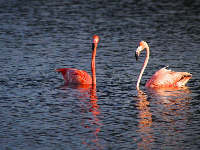 Karaibski flaminga sąd na Gotomeer, Bonaire, holender Antilles obraz stock