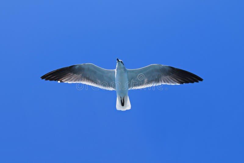 Karaibski Seagull frajer obraz royalty free