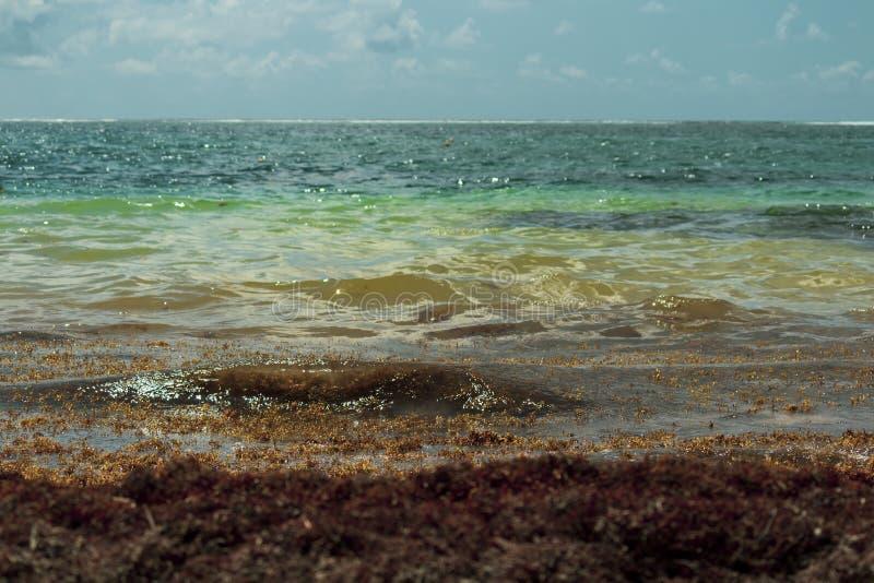 Karaiby plaża zalewa z sargasso gałęzatką zdjęcia royalty free