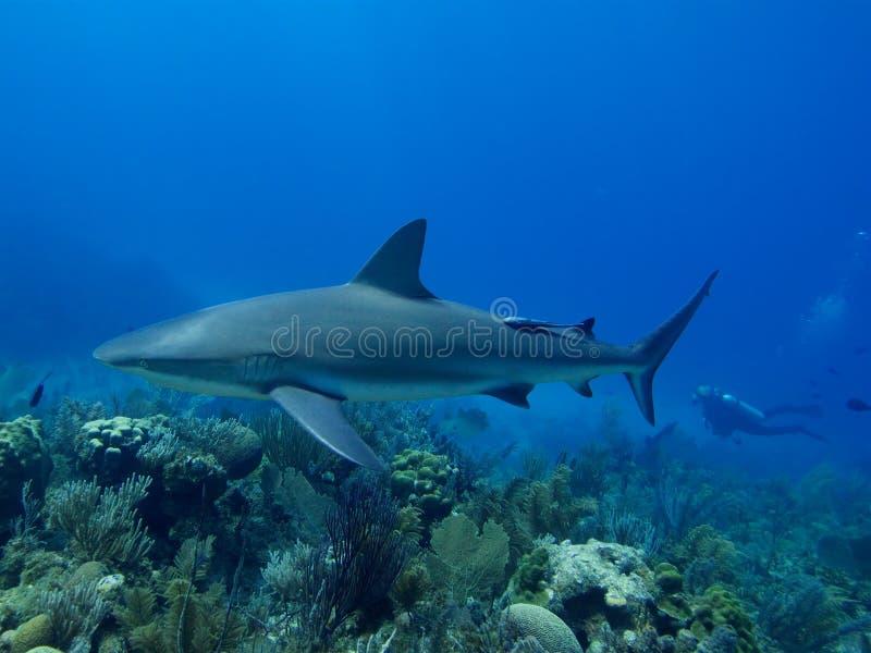 Karaiby refuje rekinu pływa nad oszałamiająco rafą w Cuba& x27; s Jardin De Los angeles Reina obrazy royalty free