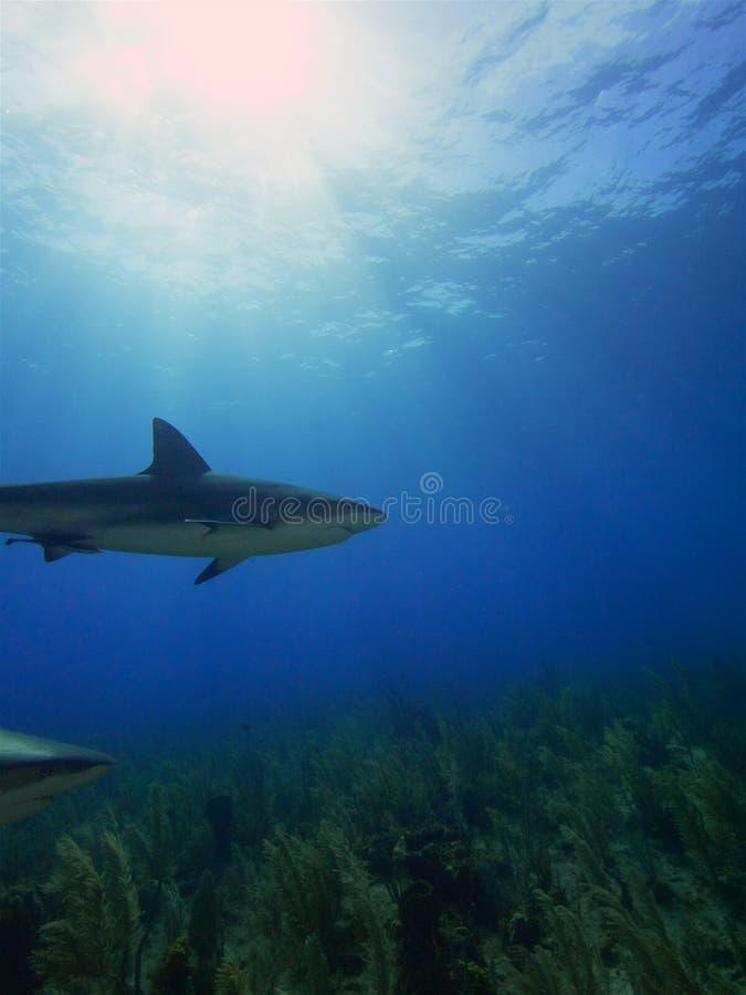 Karaiby refuje rekiny przy Losem Angeles Jardin De Los angeles Reina, Kuba zdjęcia royalty free