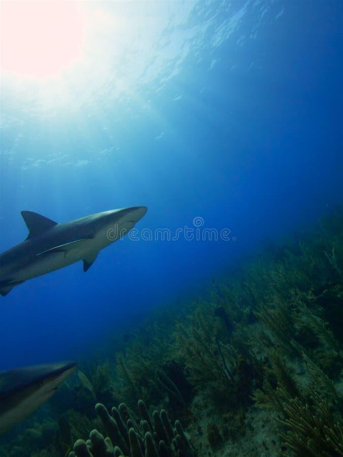 Karaiby refuje rekiny przy Losem Angeles Jardin De Los angeles Reina, Kuba obraz royalty free