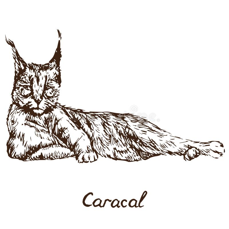 Karakala czerwony kot, rooikat, czerwień lub persa ryś lying on the beach, ręka rysujący wektor royalty ilustracja