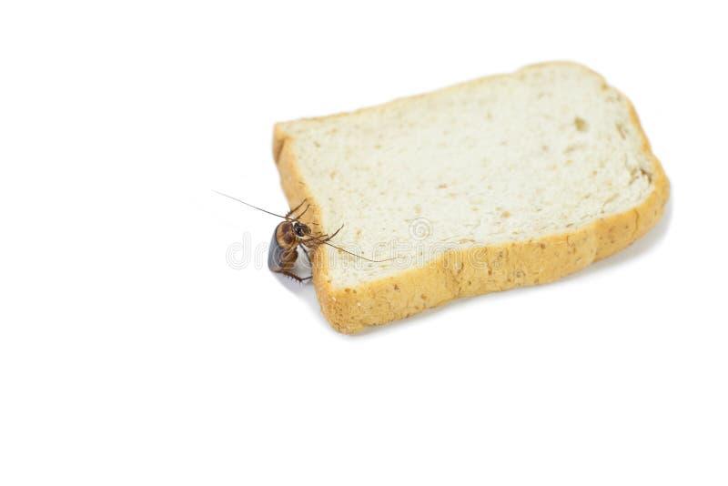 Karakany jedzą chleb na odosobnionym bielu obrazy royalty free