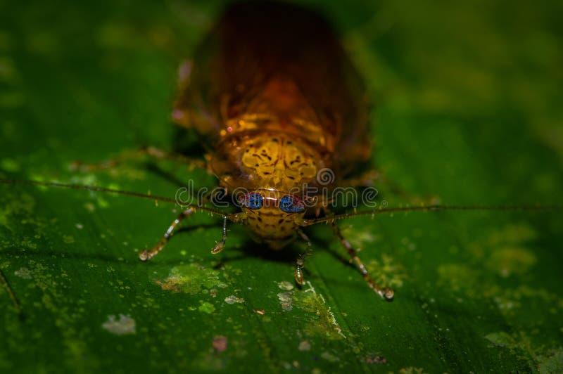 Karakany od podrównikowego wilgotnego podrównikowego lasu tropikalnego Ameryka Południowa Dictyoptera, Blattoptera, Blattodea od zdjęcie stock