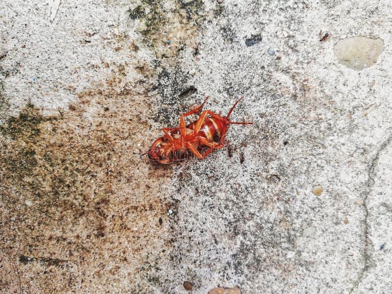 Karakany umierają na cementowej podłoga po uderzającego flitem zdjęcie royalty free