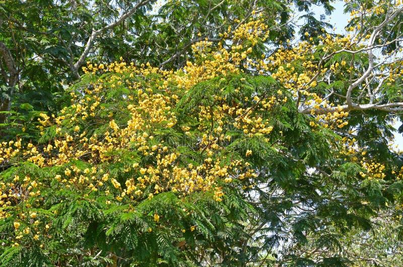 Karallia corallia brachiata异乎寻常的黄色花在特里凡德琅,印度,喀拉拉城市庭院里  库存照片
