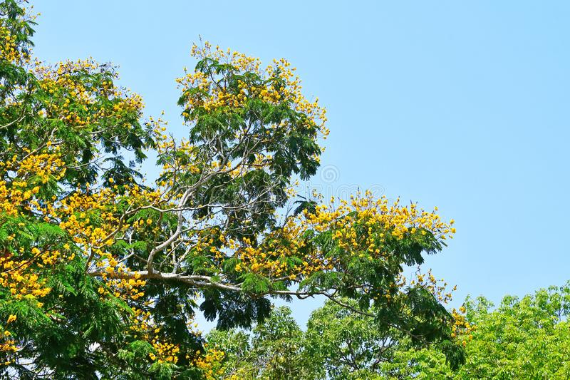 Karallia corallia brachiata异乎寻常的黄色花在特里凡德琅,印度,喀拉拉城市庭院里  库存图片