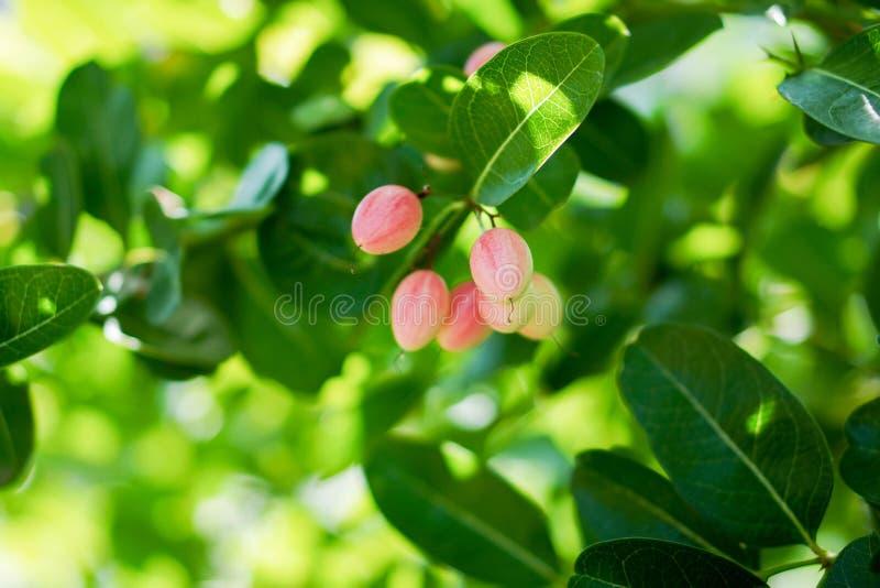 Karanda, Carunda, frutta della spina dei 's di Cristo sul fondo dell'albero, fondo della natura della sfuocatura, spazio della  fotografie stock libere da diritti