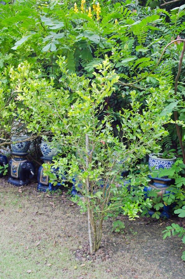 Karanda dell'albero di Caunda con la foglia immagine stock libera da diritti