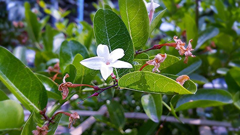 Karanda flower. Flower in thailand royalty free stock photography